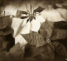 Mixed Color Poinsettias 2 Antiqued by Christopher Johnson