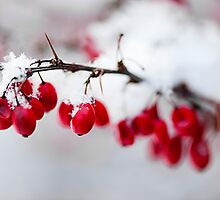 Red winter berries under snow by Elena Elisseeva