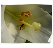Hover Fly On The  Easter Lily Poster