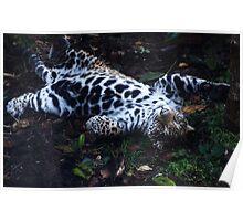 Jaguar Cub-Woodland Park Zoo Poster