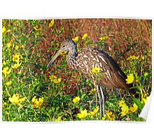 A limpkin with color! Poster