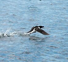 Razorbill Taking Off by Gary Chapple
