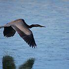 Frozen in Flight - Great Blue Heron by Tony Wilder