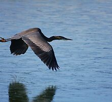 Frozen in Flight - Great Blue Heron by Tony Wilder