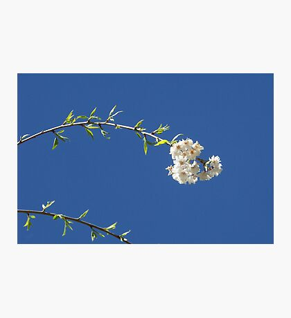 Blossoms and Sky Photographic Print
