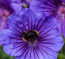 Geranium with a visiting bee Sticker
