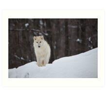 Arctic Wolf - Parc Omega, Quebec Art Print