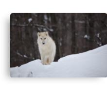 Arctic Wolf - Parc Omega, Quebec Canvas Print