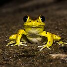 Stoney Creek Frog by D Byrne