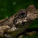 Emerald Tree Frog - Litoria peroni by D Byrne