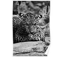 Jaguar Cub Woodland Park Zoo Poster