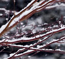 Snow covered branches by Elena Elisseeva