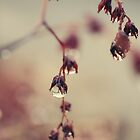 Raindrops on cactus flowers by ozzzywoman