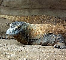 Komodo Dragon by Paul Todd