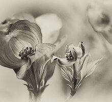 Dogwood blossoms by Harley Rustin