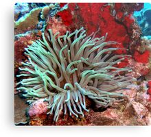 Giant Green Sea Anemone feeding near Red Coral Reef Wall Metal Print