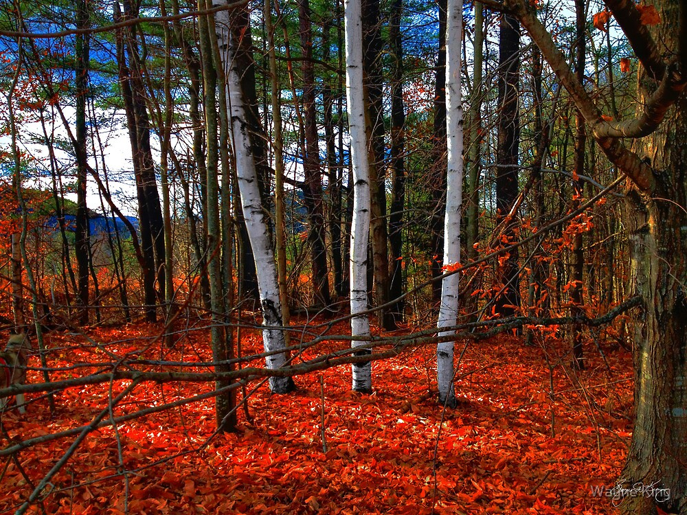 Birches Nestled in Red by Wayne King