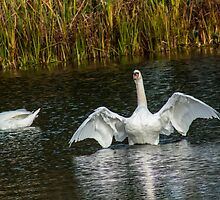 Swan Flapping by chris smith