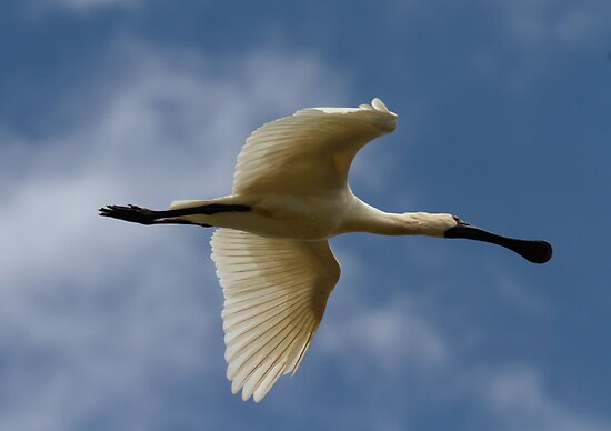 Royal Spoonbill in flight by Kym Bradley