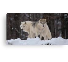 Arctic Wolves - Parc Omega, Quebec Canvas Print
