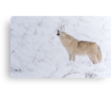The Howl - Arctic Wolf Canvas Print