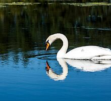 Swan neck reflection  by chris smith