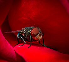 A Fly in red rose by PhotoShopping