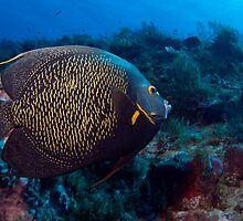 French Angel Fish by Greg Amptman