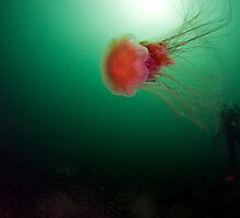 Lions Mane Jellyfish by Greg Amptman