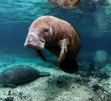 Manatees by Greg Amptman
