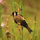 European Goldfinch At Sunrise by Kym Bradley