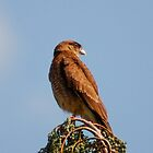 121115 falcon hawk by pcfyi