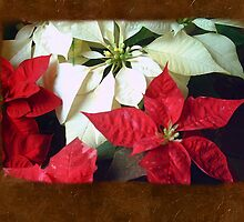 Mixed Color Poinsettias 2 Blank P3F0 by Christopher Johnson
