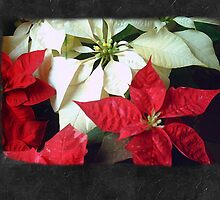 Mixed Color Poinsettias 2 Blank P4F0 by Christopher Johnson