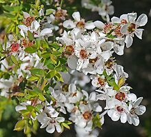 Leptospermum lanigerum by Margaret  Hyde