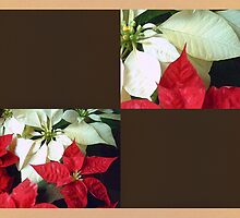 Mixed Color Poinsettias 2 Blank Q3F0 by Christopher Johnson
