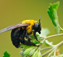 Bumblebee by davvi