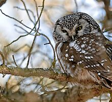 Boreal Owl by Owl-Images