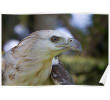 Immature White-bellied Sea-eagle Poster