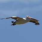 Pelican In Flight by Kym Bradley