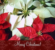 Mixed Color Poinsettias 2 Merry Christmas S5F1 by Christopher Johnson