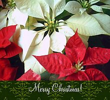 Mixed Color Poinsettias 2 Merry Christmas S6F1 by Christopher Johnson