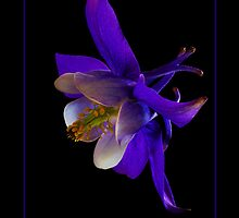Blue & White Columbine by didibaev