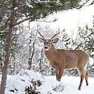 Frosty Buck - White-tailed Buck, Ottawa by Jim Cumming