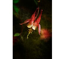 Columbine Orange Woodland Beauty Photographic Print