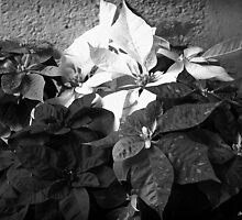 Mixed color Poinsettias 3 B&W by Christopher Johnson