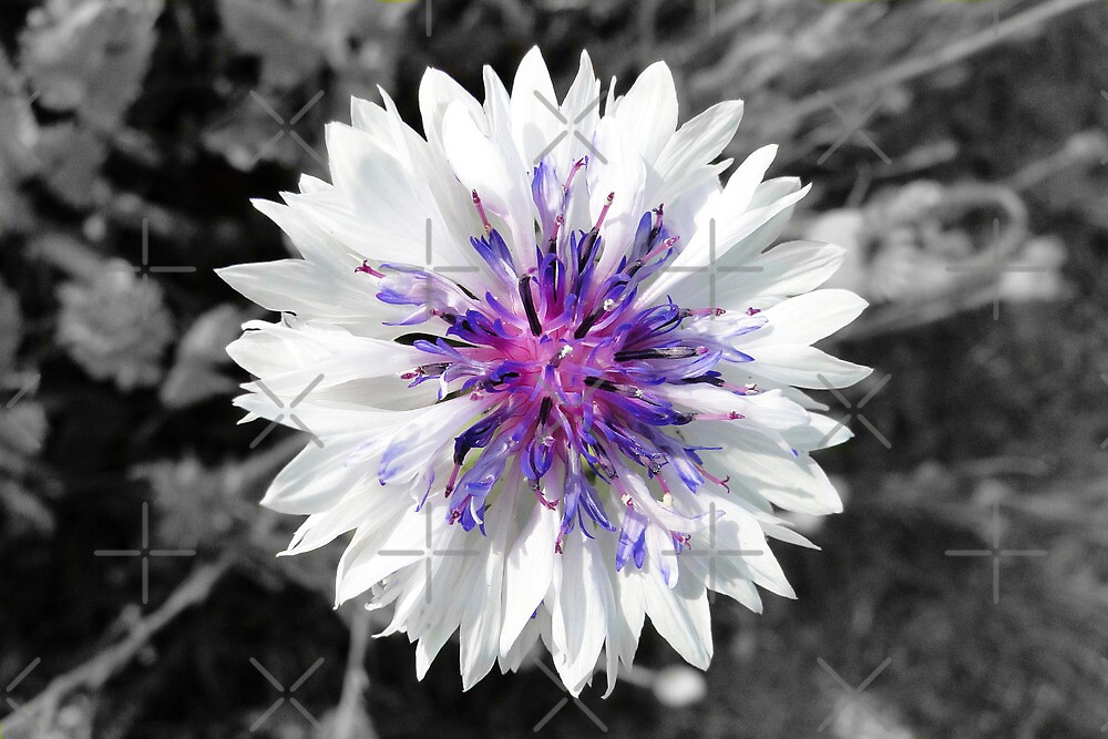 The White Cornflower by Barrie Woodward