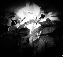 Mixed color Poinsettias 3 Dark by Christopher Johnson