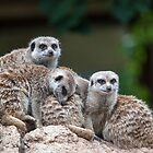 Meerkat Family by Ray Warren