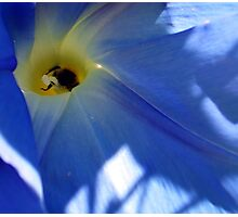 Morning Glory and Bee Photographic Print